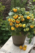 Yellow vine tomatoes in pot in garden