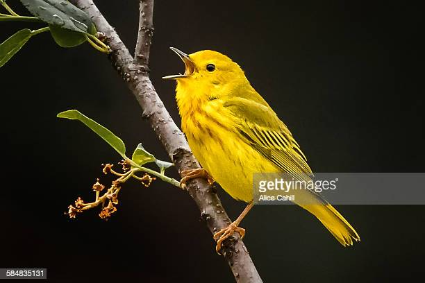 Yellow Warbler on a branch with beak open singing