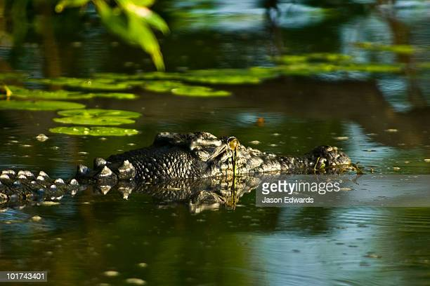 A Saltwater Crocodile lurking beneath trees in a green swamp.