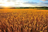 Yellow Wheat Fields at Sunset