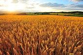 Yellow Wheat Fields at Sunset