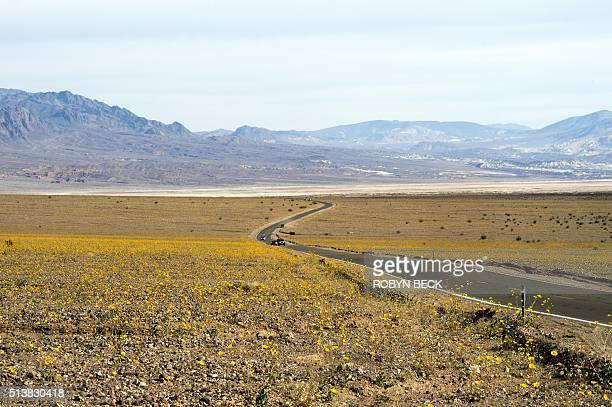 Yellow wildflowers line the highway through Death Valley National Park in Death Valley California March 4 2016 Unusally heavy rainfall in October...
