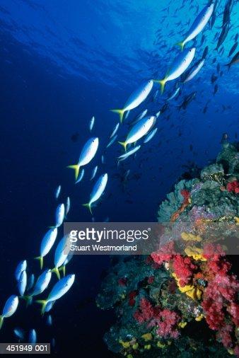 Yellowback fusiliers (Caesio teres) swimming past coral, Australia : Stockfoto