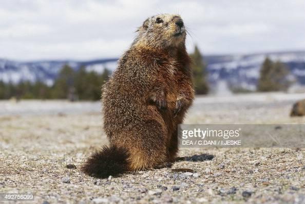 Yellowbellied marmot Sciuridae
