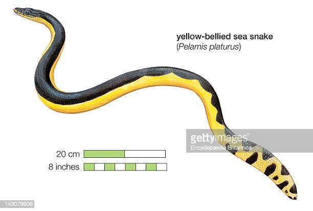 YellowBellied Sea Snake