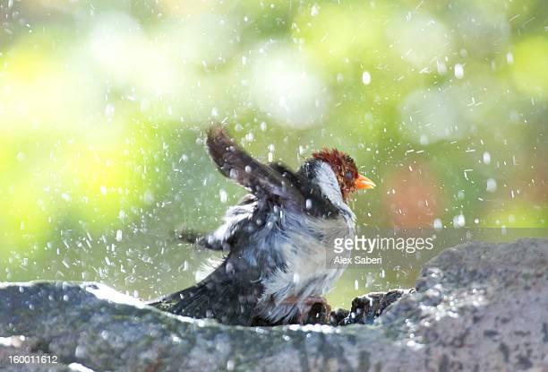 A yellow-billed cardinal, Paroaria capitata, takes a bath.