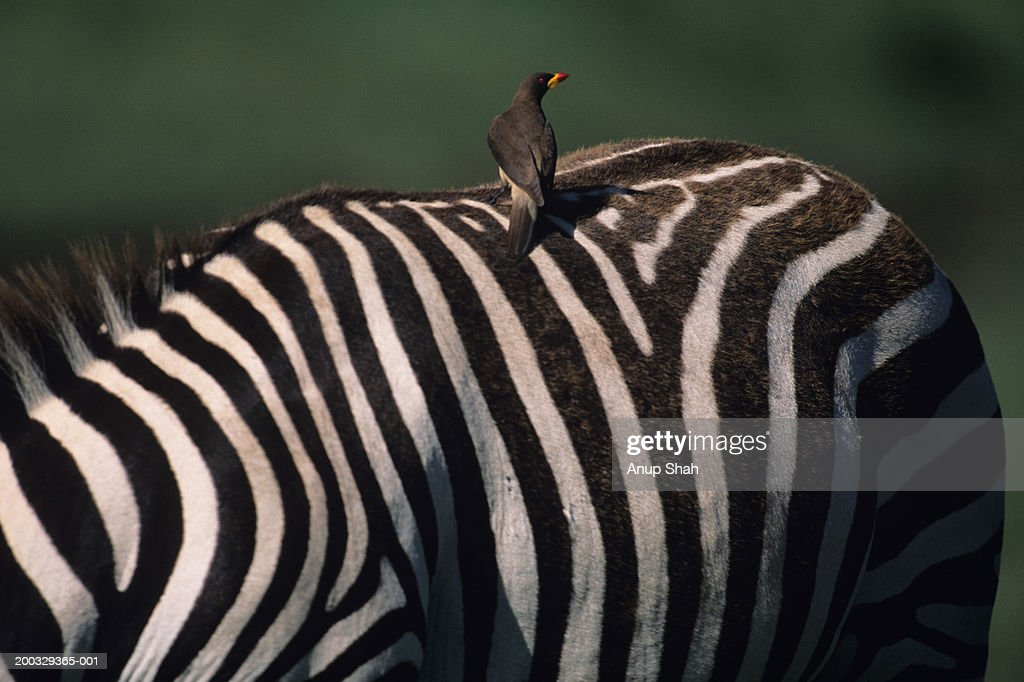 Yellow-billed oxpecker (Buphagus africanus) sitting on zebra (Equus burchelli), Ngorongoro, Tanzania : Stock Photo