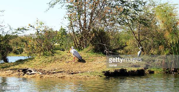 Yellow-billed Stork and Heron