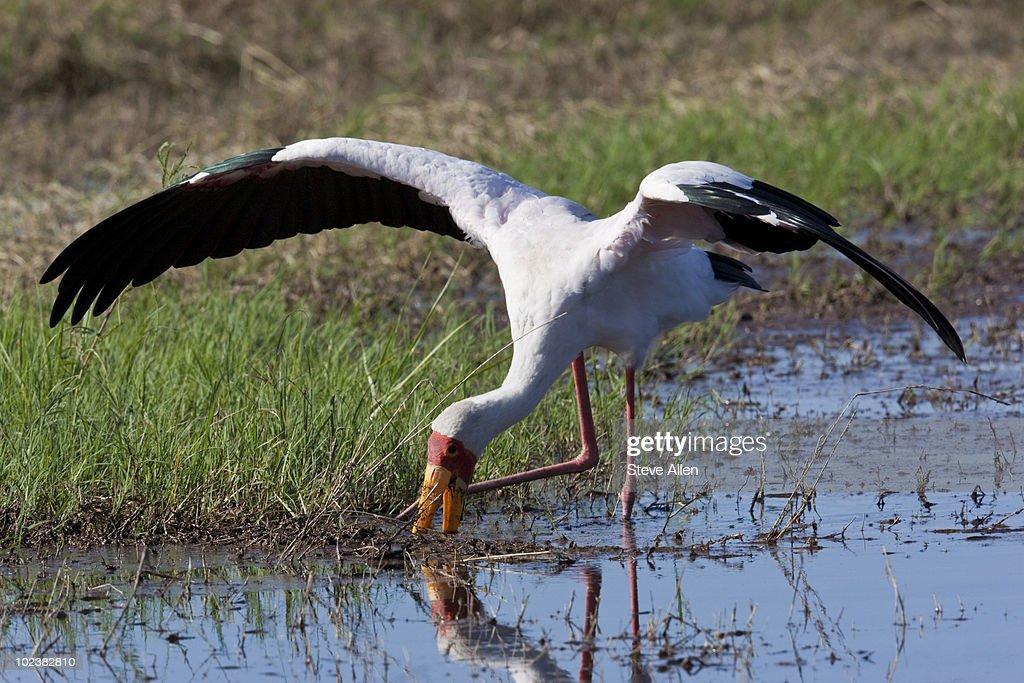 Yellowbilled Stork  : Stock Photo