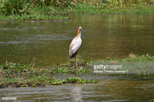 Yellow-billed stork (Mycteria ibis) standing on floating vegetation in the Nile River