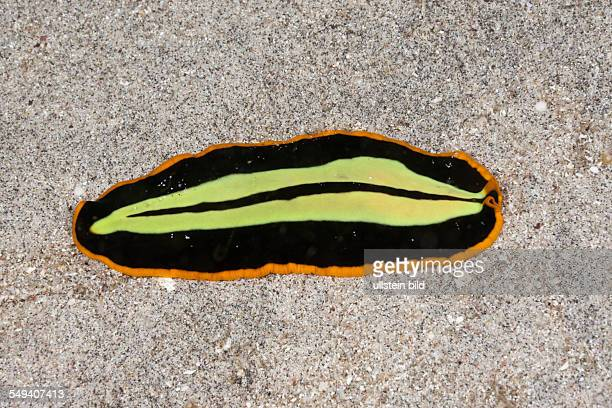 Yellowblack Flatworm Pseudoceros dimidiatus Raja Ampat West Papua Indonesia
