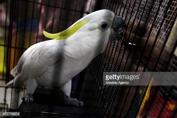 A yellowcrested cockatoo handed in by a citizen who kept it in his homes is seen in a cage at the office of the Ministry of Environment and Forestry...