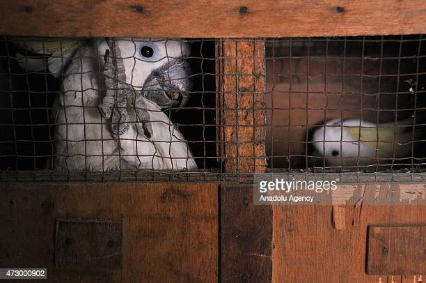 Yellowcrested cockatoos are seen in a cage after being handed in by citizens at the Natural Resources Conservation Center office in Jakarta Indonesia...