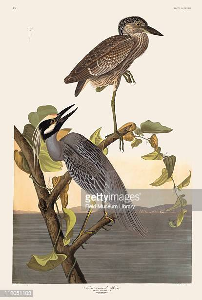 Yellowcrowned Heron Plate 336 in John James Audubon's Birds of America late 1830s