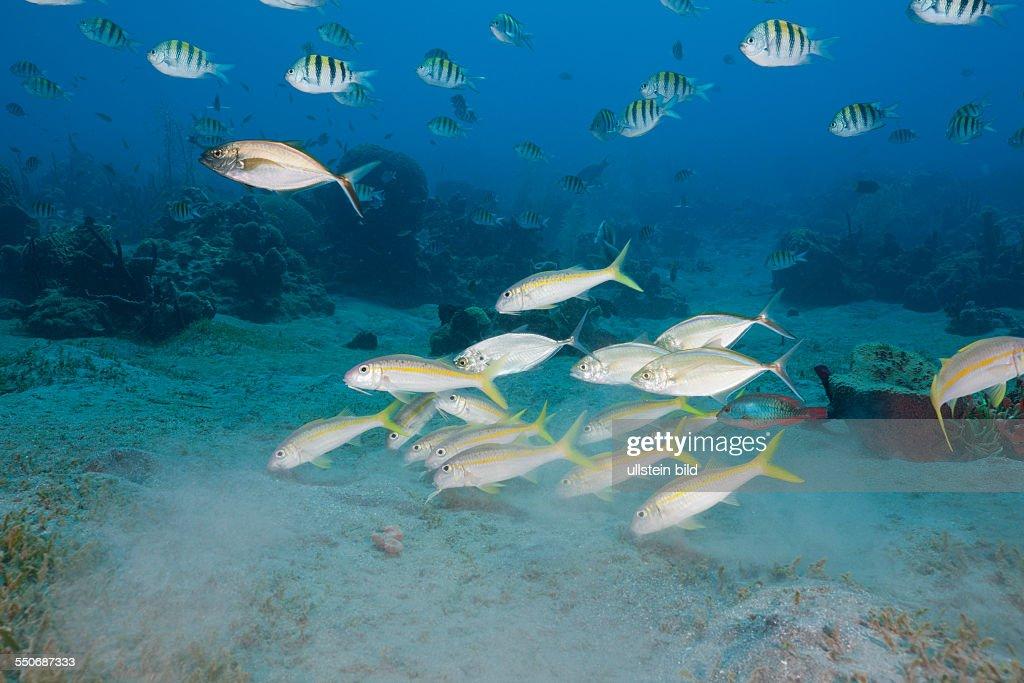 Yellowfin Goatfishes and Sergant Major Fish Mulloidichthys martinicus Abudefduf saxatilis Caribbean Sea Dominica