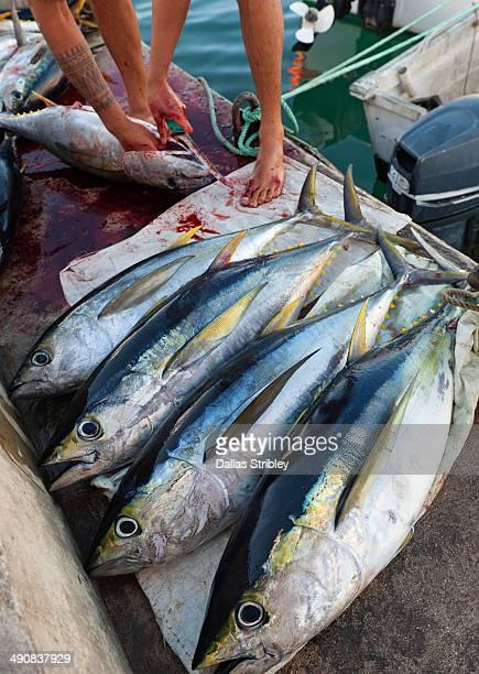 Yellow-fin tuna