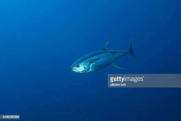 Yellowfin Tuna Thunnus albacares Daedalus Reef Red Sea Egypt