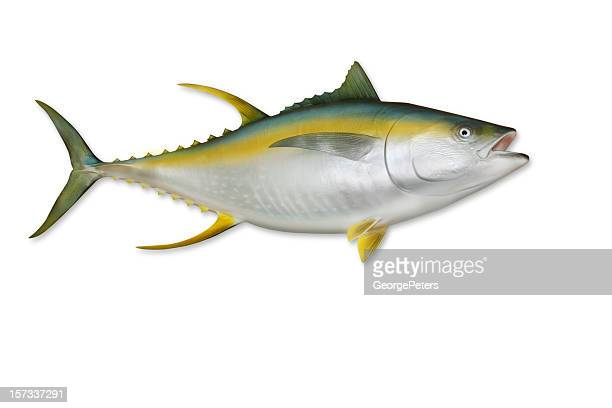 Yellowfin Tuna with Clipping Path