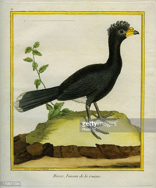 Yellowknobbed Curassow Crax daubentoniYellowknobbed CurassowGeorgesLouis Leclerc Comte of Buffon 'Natural History of birds fish insects and reptiles'...
