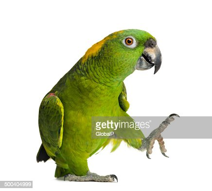 Yellow-naped parrot (6 years old), isolated on white : Stock Photo