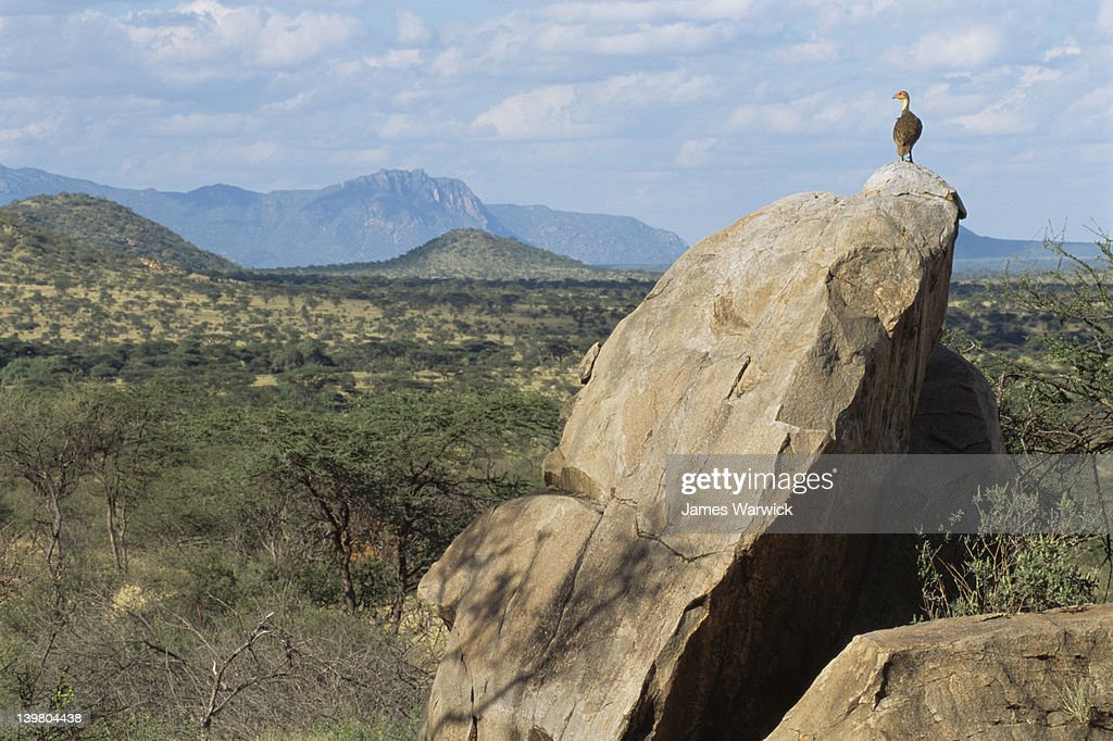 Yellow-necked spurfowl surveying its territory : Stock Photo