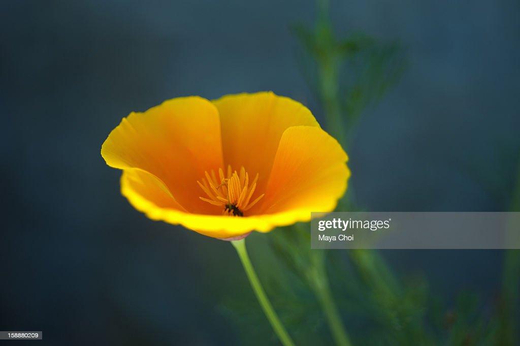 Yellow/Orange Poppy Flower Against Blue Background : Stock Photo
