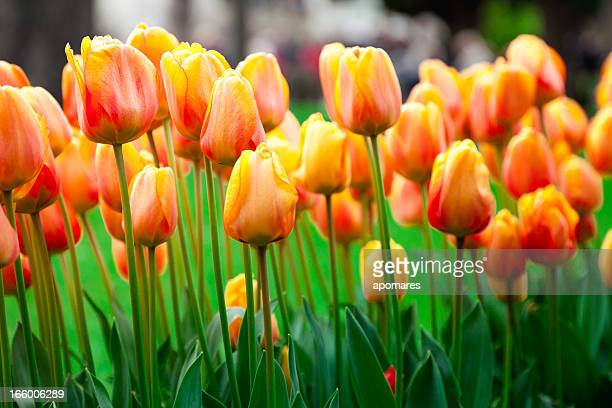 Yellow-orange Turkish tulip