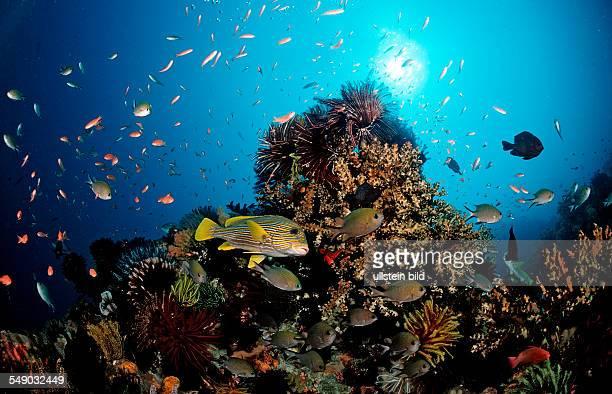 Yellowribbon sweetlips and coral reef Plectohinchus polytaenia Bali Indian Ocean Indonesia
