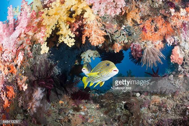 Yellowribbon Sweetlips between Soft Corals Plectorhinchus polytaenia Raja Ampat West Papua Indonesia