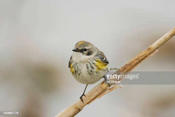 Yellow-rumped Warbler (Dendroica coronata), adult in winter plumage perched on reed, Sinton, Corpus Christi, Texas, USA
