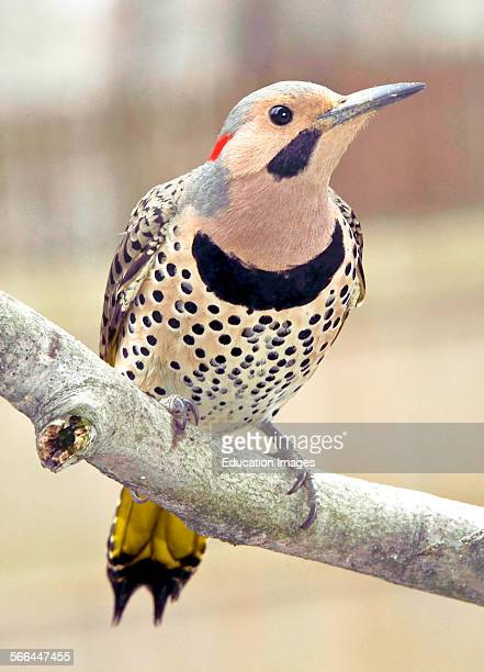 Yellowshafted Flicker Northern Flicker Colaptes auratus