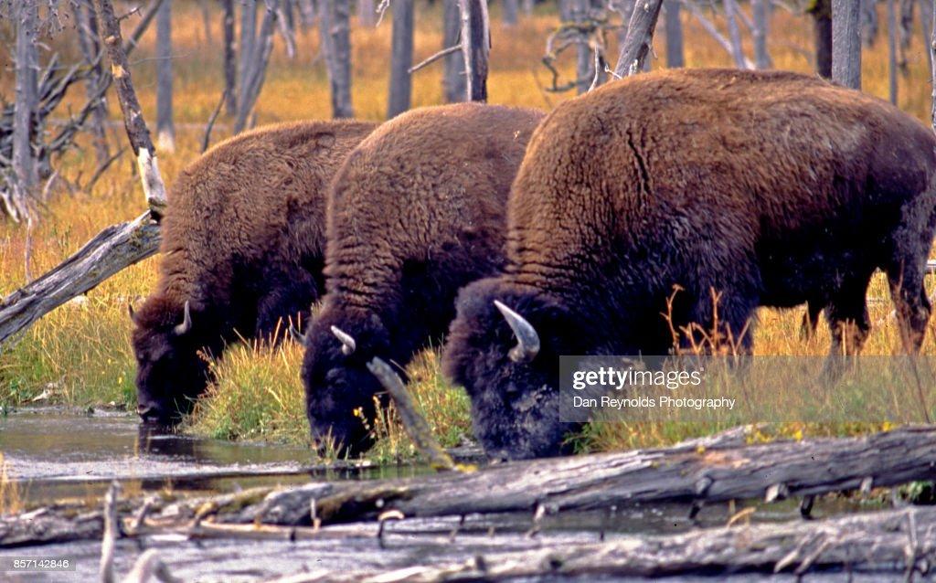 3 Buffalo , Yellowstone National Park
