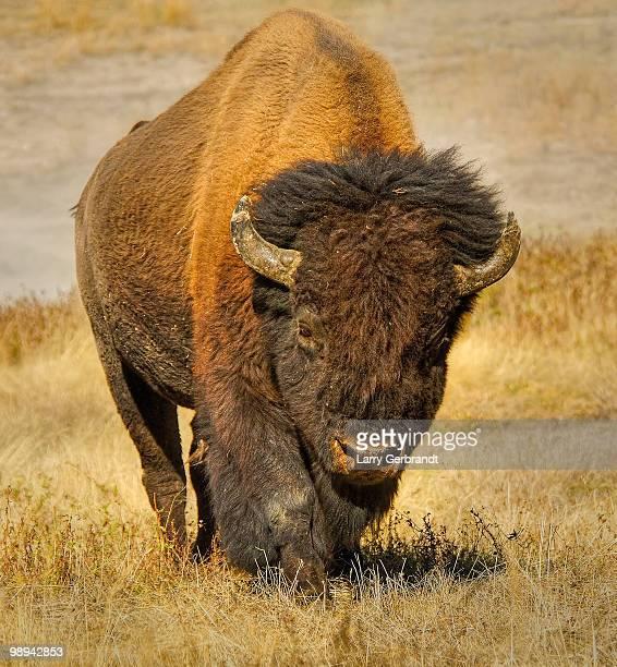 Yellowstone Buffalo Headon