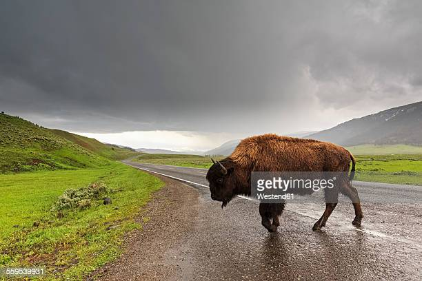 USA, Yellowstone National Park, Bison crossing road