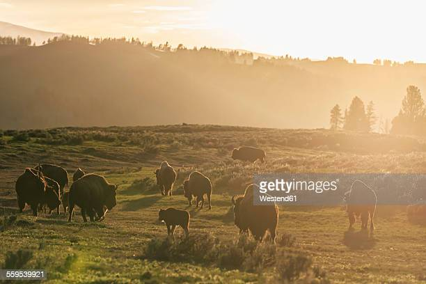 USA, Yellowstone National Park, Herd of buffaloes on grassland