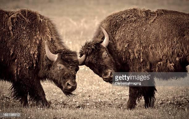 Parque nacional de Yellowstone dos jóvenes de bisonte de lucha
