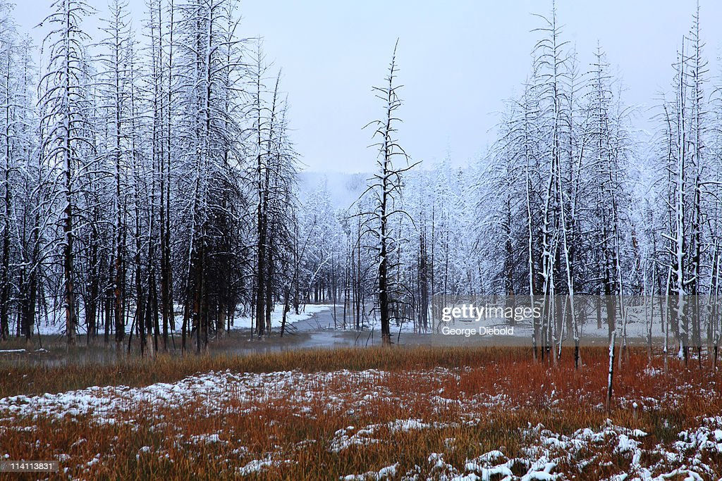 Yellowstone thermal forest with spring snow
