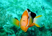 Yellowtail clownfish
