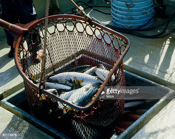 Yellowtails in fishing net