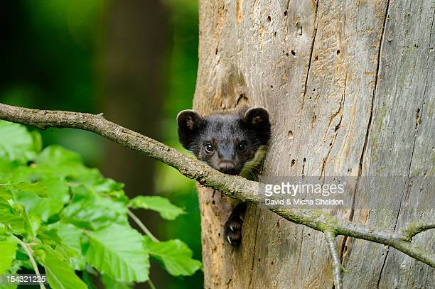 Yellow-throated Marten (Martes flavigula) looking out of tree hole