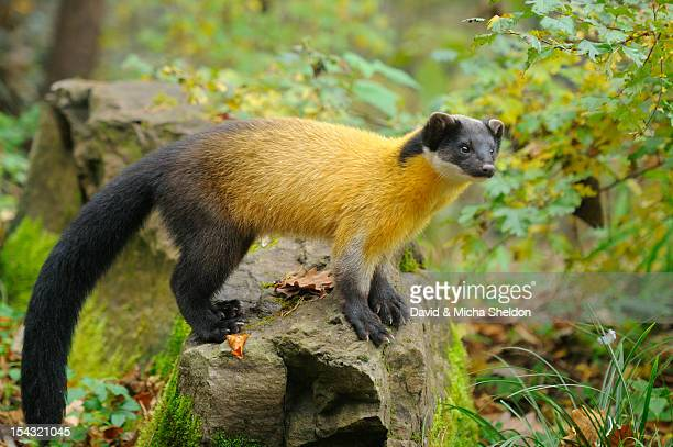 Yellow-throated Marten (Martes flavigula) standing on rock