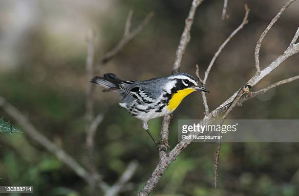 Yellow-throated Warbler (Dendroica dominica), male, Concan, Texas, USA