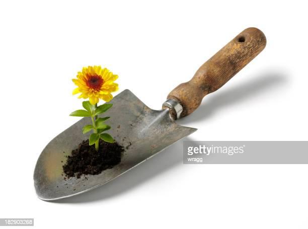 Yellwo Blume wächst in eine Schaufel