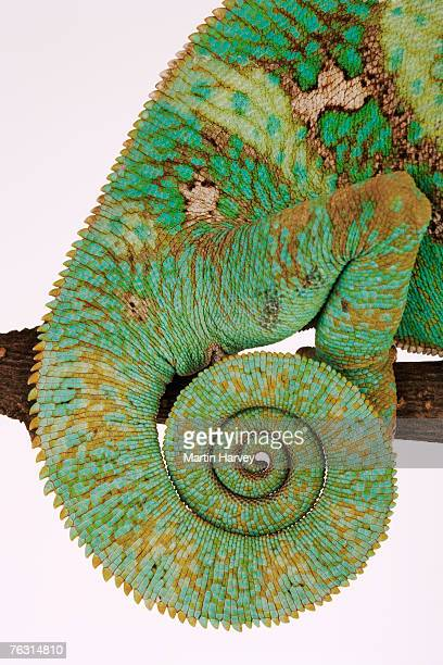 Yemen chameleon, close-up of coiled tail