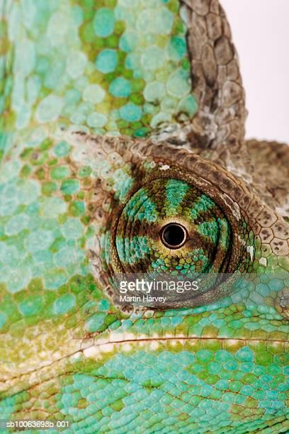 Yemen chameleon, close-up of eye