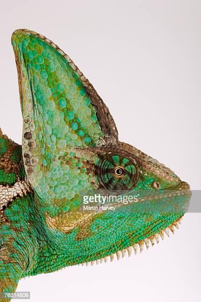 Yemen chameleon, close-up of head, side view