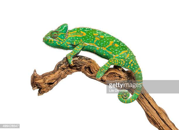 Yemen chameleon on a branch