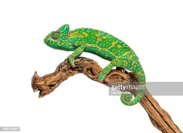 Yemen chameleon on a branch