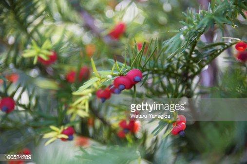 Yew berries : Stock Photo