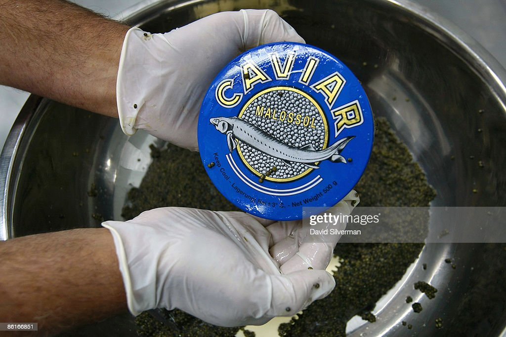 Yigal Ben Tzvi, the managing director of Caviar Galilee, fills half kilogram tins of caviar, each with a retail value of some US$2,500, at their processing plant on April 22, 2009 in Kibbutz Dan, Israel. Far from the Caspian Sea, where over fishing and pollution have slashed yields of this prized delicacy, fish farmers at this kibbutz are reaping the rewards of years of harvesting and are cashing in on the global shortage of caviar. After retail prices for caviar soared to as much as US$5,000 a kilogram, the kibbutz turned from rearing the fish from imported Russian Osetra stock for its meat to breeding and growing them in special ponds for as long as ten years to harvest their roe. According to Yigal Ben Tzvi, the Managing Director of caviar at Galilee, his caviar is lauded by connoisseurs and orders coming from Japan, America, Europe and even Russia account for their annual production of some 2,000 kilograms.